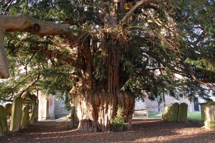 Millennium Yew